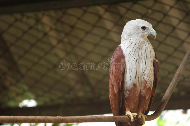 Bald Eagle at VOC park. Bald Eagle Accipitridae is sitting on the roper at VOC park in Coimbatore stock photography