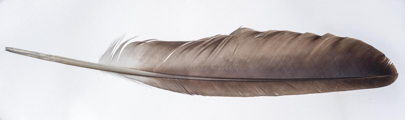Eagle Wing Feather - Isolated on White. An bald eagle wing feather is portrayed on a light colored background royalty free stock photography