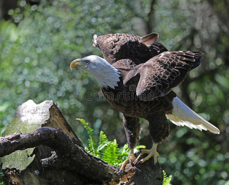 Bald eagle wings out. Bald eagle standing with wings stretched out stock photography