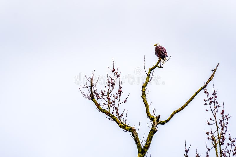 Bald Eagle in winter sitting on a Tree Branch at the Great Blue Heron Reserve near Chilliwack in Beautiful British Columbia, Canad royalty free stock images