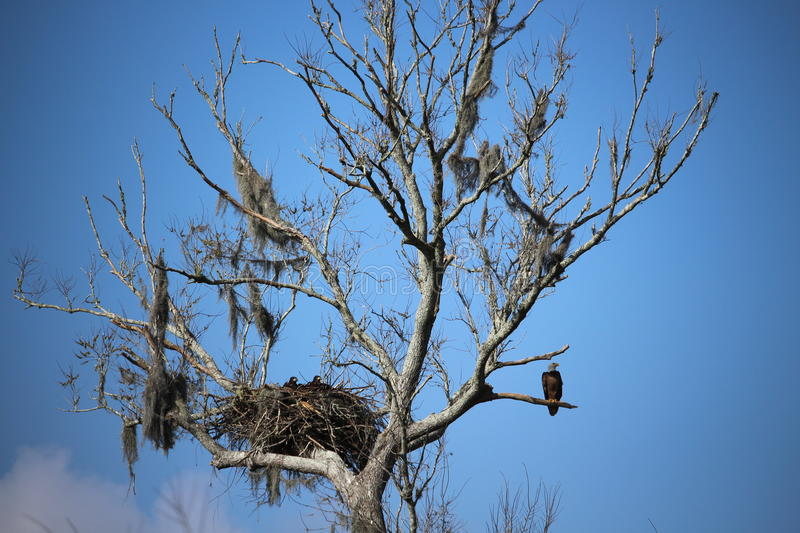 Bald Eagle with Young In Nest. Bald Eagle in Lockport Louisiana Lafourche Parish Allen Ranch with nest and 2 juveniles stock photography