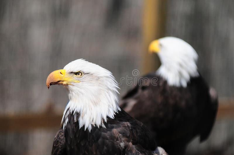 Bald Eagles. At the Wild Bird Sancuary in Valley Park Missouri royalty free stock photography