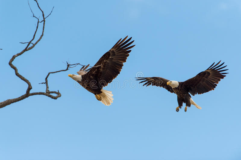 Bald Eagles in flight. Male and female bald eagles in flight stock image