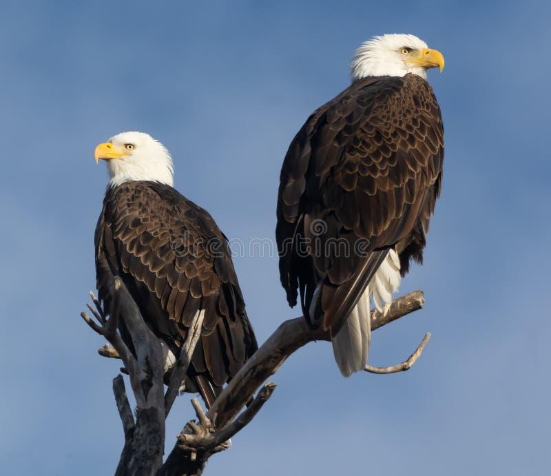 Bald Eagles genießen gemeinsam Sonnenaufgang lizenzfreie stockfotos