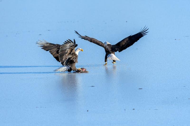 Bald Eagles Haliaeetus leucocephalus fighting for salmon on th stock photo