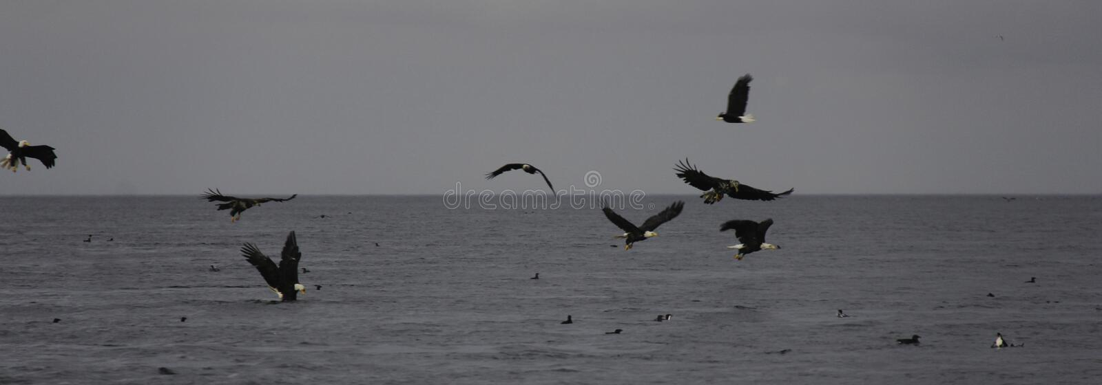 Bald Eagles Hunting. Juvenile and Adult Bald Eagles Hunting school of fish on the Pacific Ocean royalty free stock photography