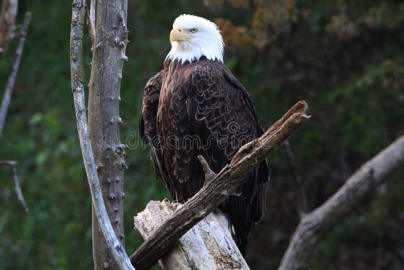 Mature Bald Eagle stock images