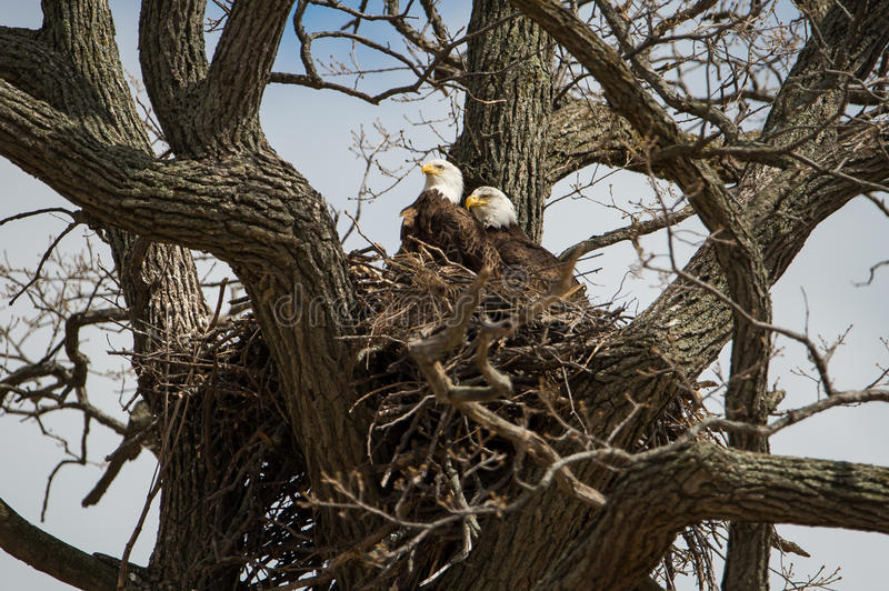 Bald Eagles. Male and female bald eagles in their nest royalty free stock photography