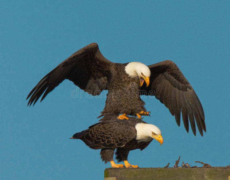 Bald Eagles Mating. At National Wildlife Refuge stock photos