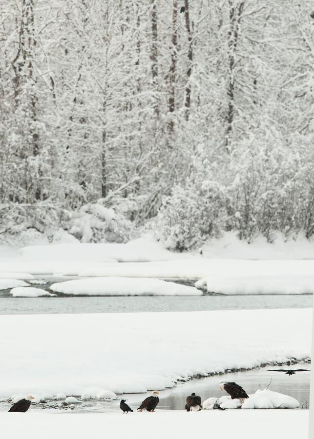 Download Bald Eagles on snow stock image. Image of blue, national - 22621615