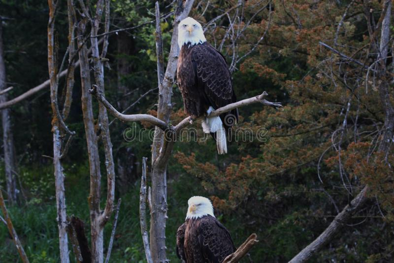 Pair of mature Bald Eagles stock image