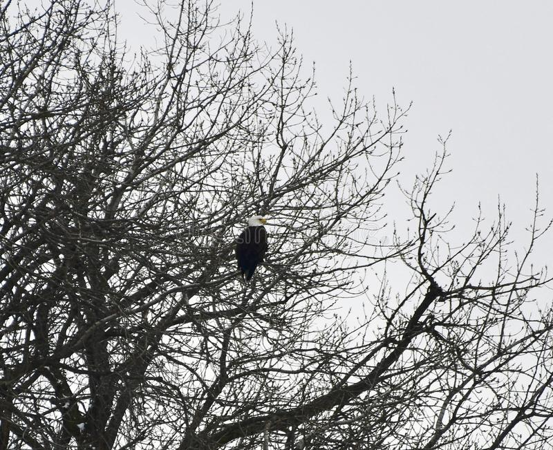 Bald Eagles in a Tree #1. This is a Winter picture of a Bald Eagle perched in a tree along the Illinois River in the Starved Rock State Park located in Utica royalty free stock photo