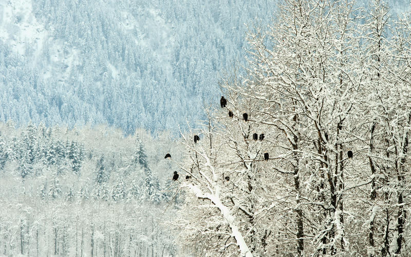 Download Bald Eagles On Trees Stock Photography - Image: 22621602