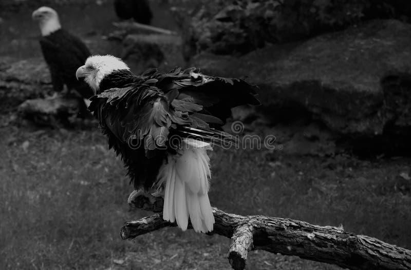 Bald Eagles at Zoo. Tulsa zoo, eagles black and white stock photos
