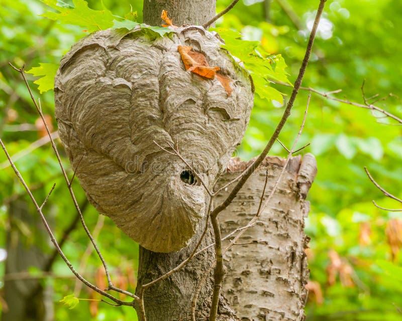 Bald-faced Hornets Hive stock photos