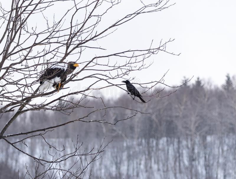 The bald-headed, white-shouldered, eagle in flight over the lake hunts in the early morning, fishes in the winter. royalty free stock photography