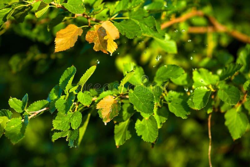 Bald Herbst, drehen sich die Blätter golden stockfotos
