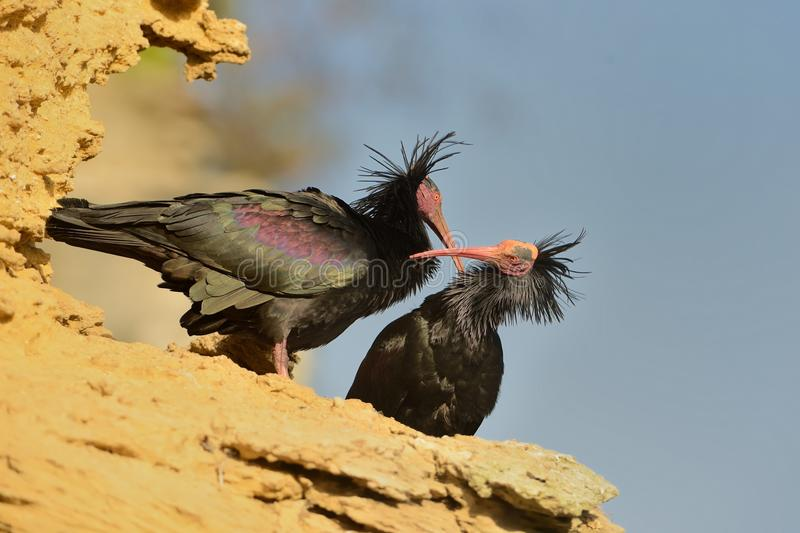 Bald Ibis - Waldrapp Geronticus eremita sitting on the rock in spain. In the background is yellow rock and blue sky. Black bird. With pink skinny head and beak royalty free stock photo