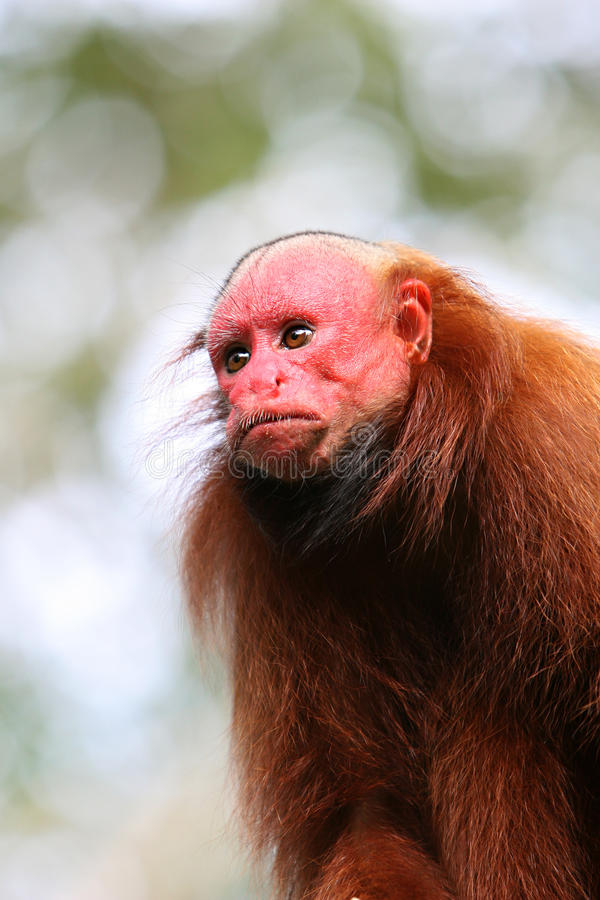 Bald Uakari Monkey stock image