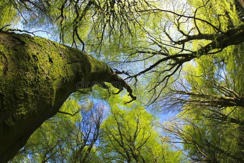 Baldacchino del terreno boscoso del faggio nella primavera fotografia stock libera da diritti