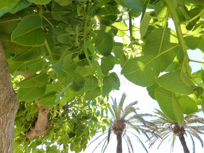 Baldachim drzewka palmowe z światła słonecznego podglądaniem zdjęcie royalty free