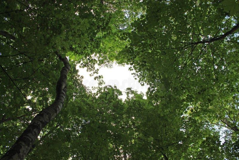 Baldachim zieleni liście drzewa przeciw niebieskiemu niebu obrazy royalty free
