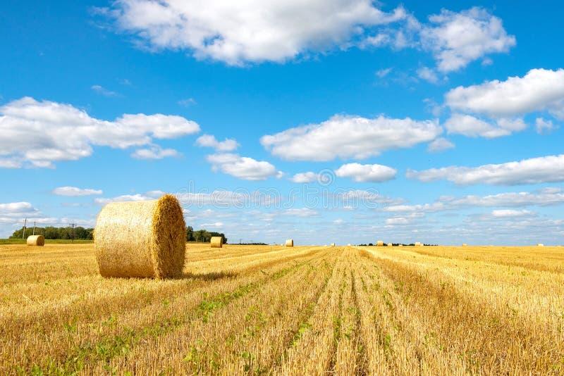 Baldes amarelos brilhantes de feno num campo agrícola foto de stock royalty free