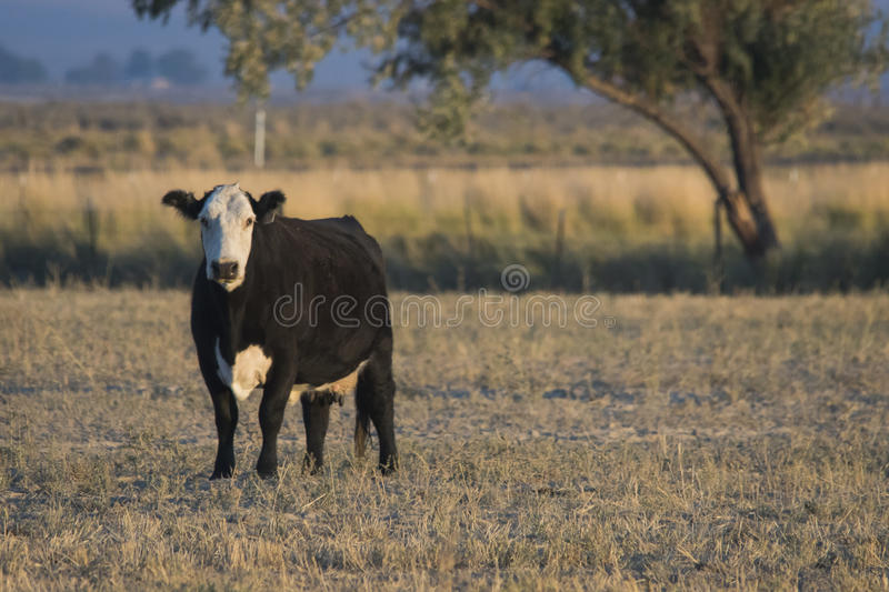 Baldfaced Cow in the Pasture royalty free stock photos