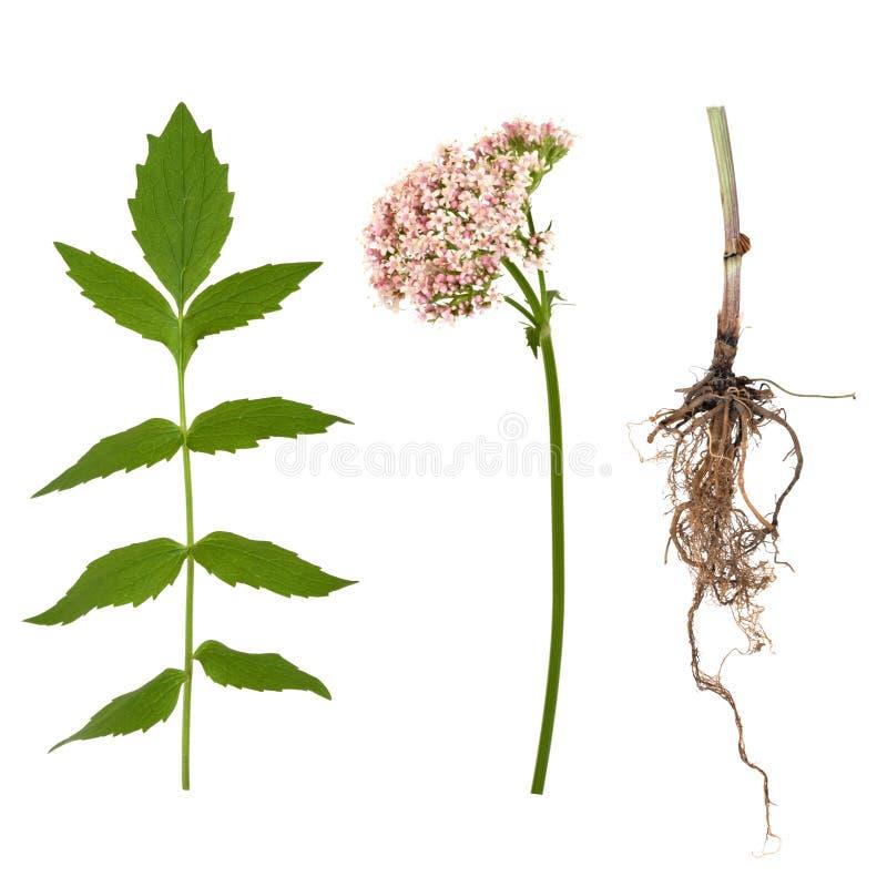 Baldrian-Blatt, Wurzel und Blume lizenzfreie stockfotos