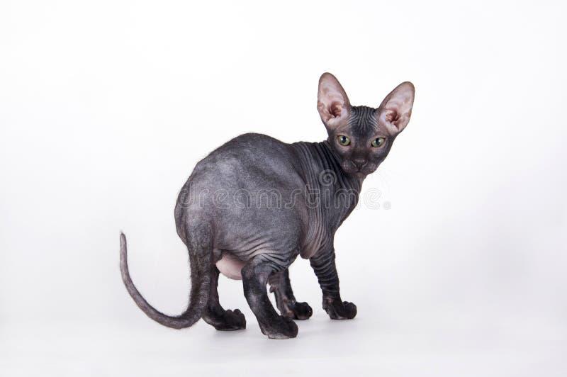 Balds cat