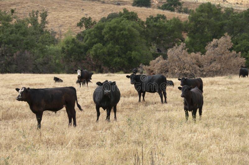 Baldy negro y Angus Cattle negro en un campo foto de archivo