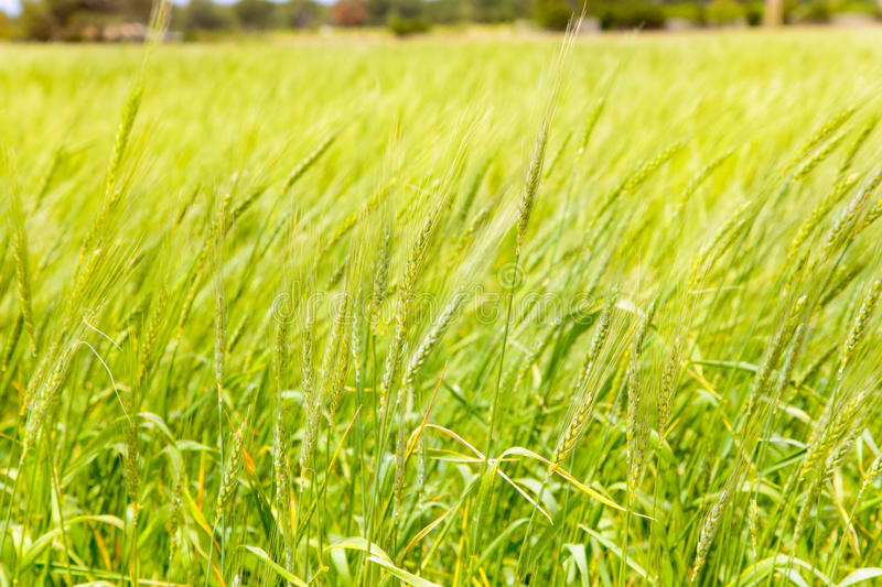 Download Balearic Green Wheat Field In Formentera Island Stock Photo - Image: 25408616