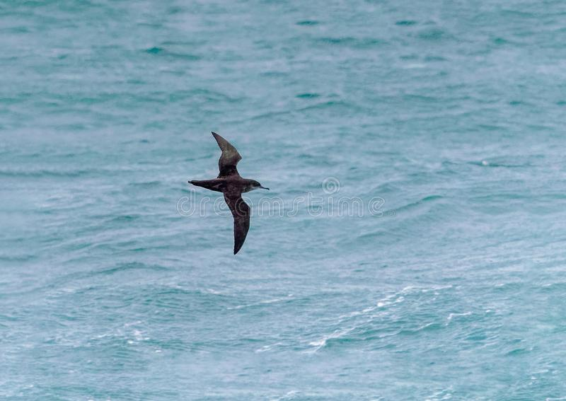 A Balearic Shearwater, Puffinus mauretani in flight. A critically endangered Balearic Shearwater, Puffinus mauretanicus, in flight over the ocean, English royalty free stock images