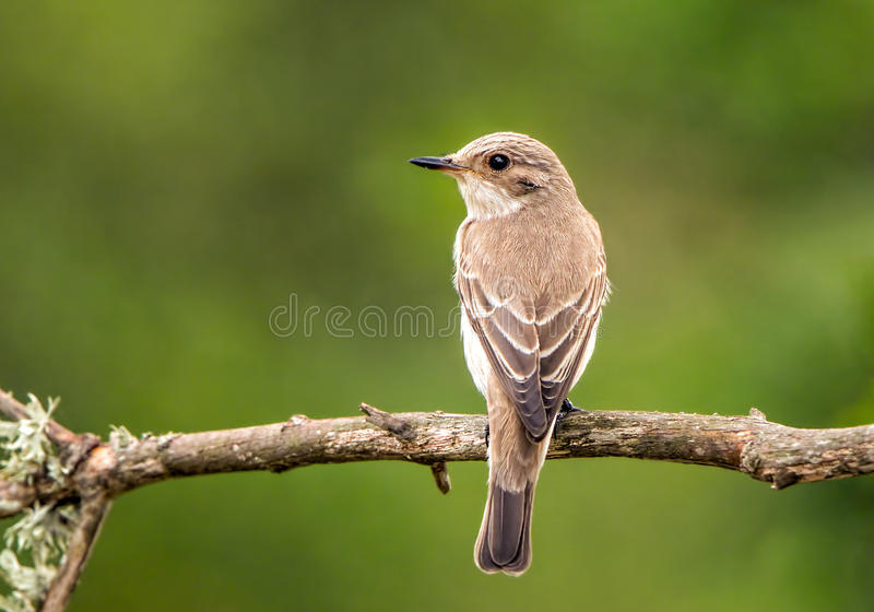 Balearic Spotted Flycatcher - Muscicapa striata balearica, Majorca stock images