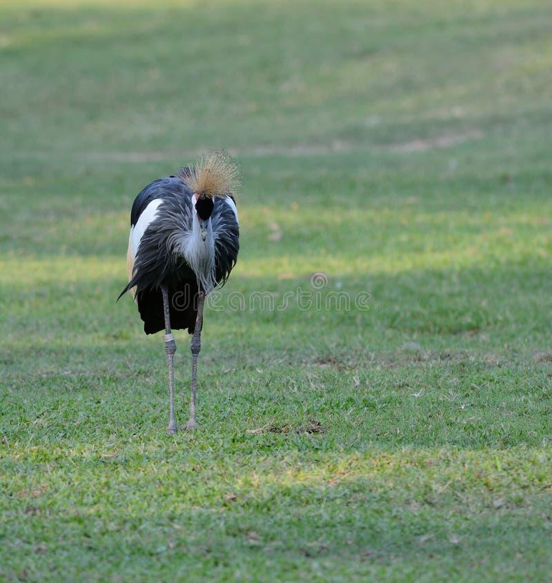 balearica żuraw koronujący popielaty regulorum zdjęcia royalty free