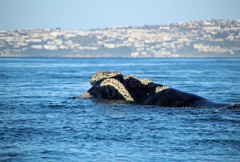 Baleen whale off the coast of South Africa. Hermanus royalty free stock photo