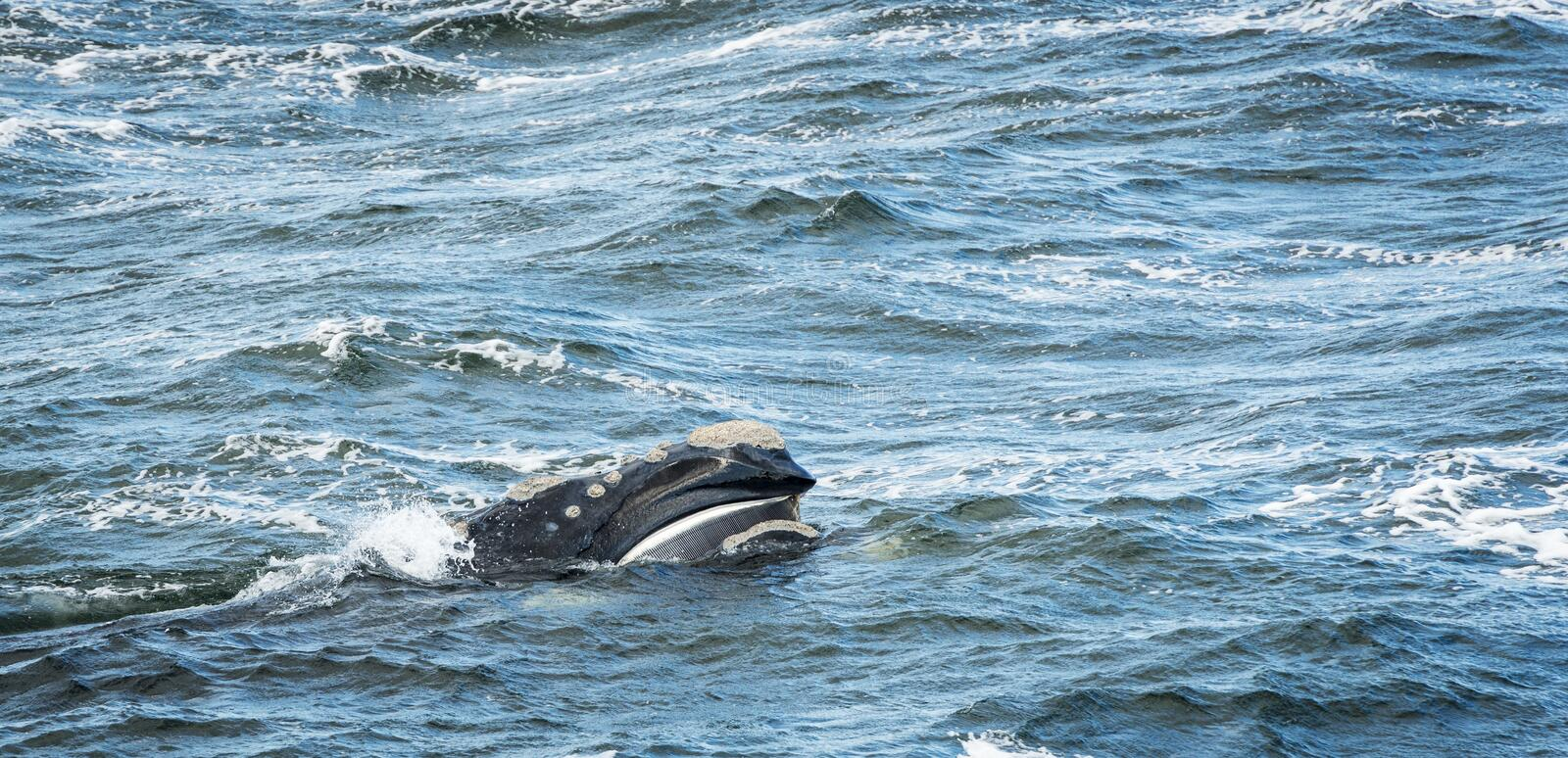 Baleen Whale Surfaces. Its head stock images