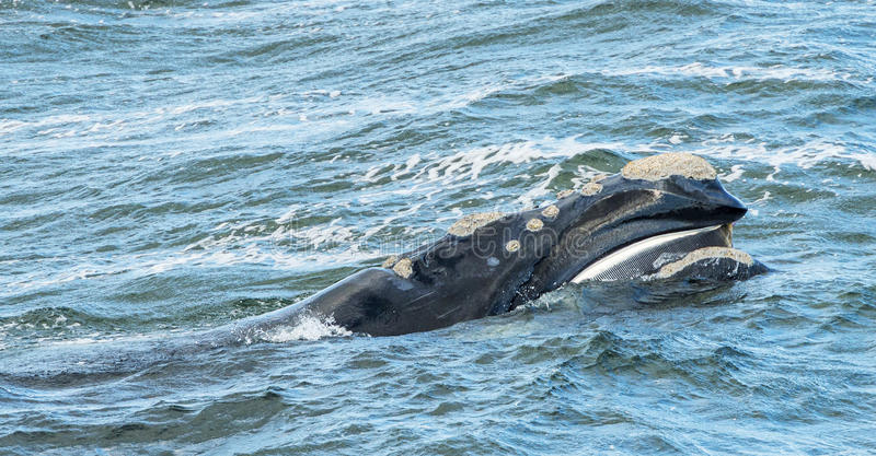 Baleen Whale Surfaces. Its head stock image