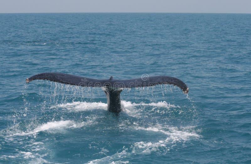 Baleia da cauda fotos de stock royalty free