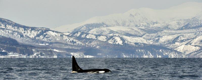 Baleia da orca ou de assassino, orca do Orcinus foto de stock
