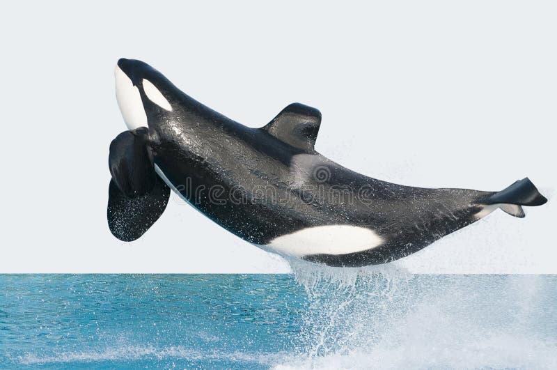 Baleia de assassino de salto fotografia de stock royalty free