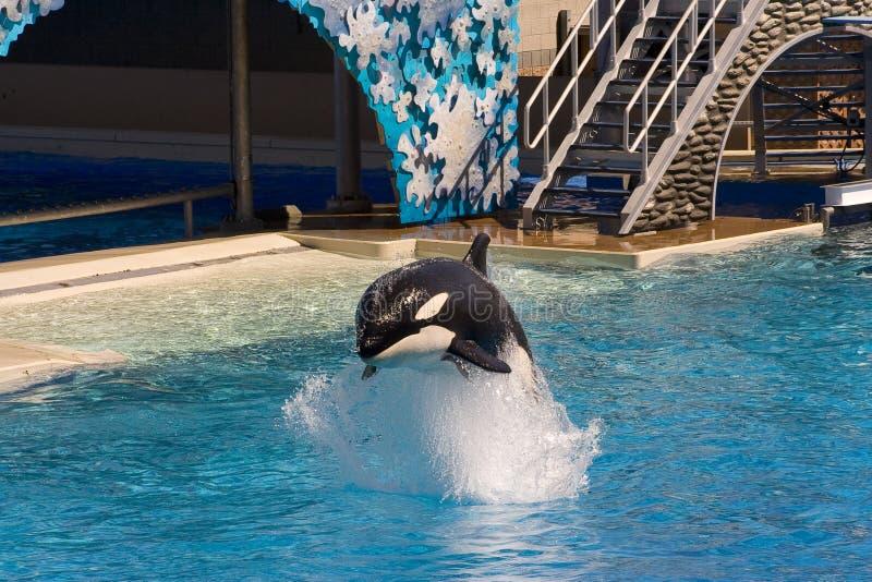 Baleia de assassino (orca do Orcinus) foto de stock royalty free