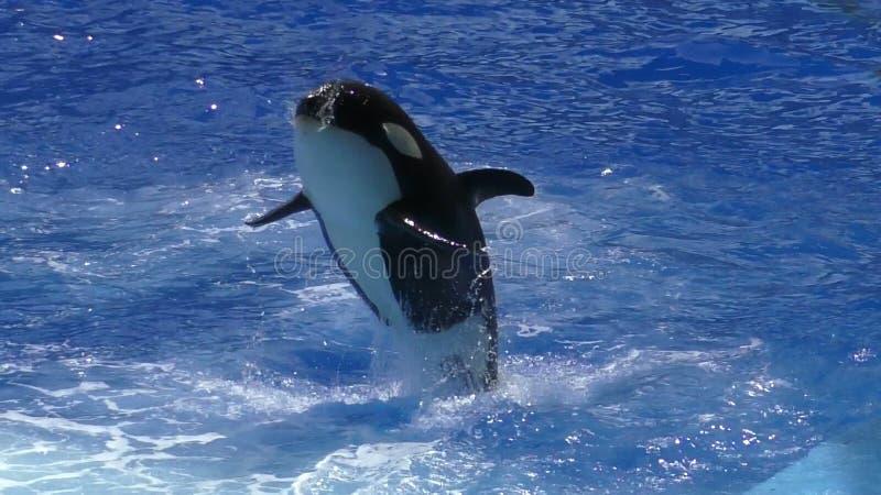 A baleia de assassino salta o movimento lento video estoque
