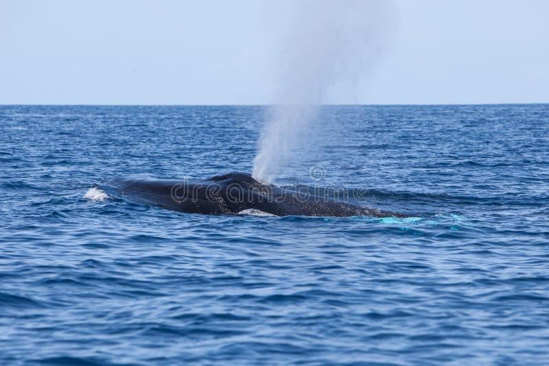 A baleia de corcunda expira na superfície das Caraíbas imagens de stock royalty free