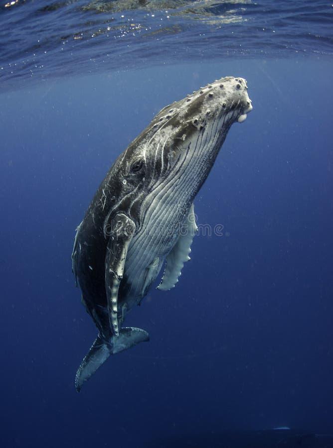 Baleia de corcunda na superfície imagem de stock
