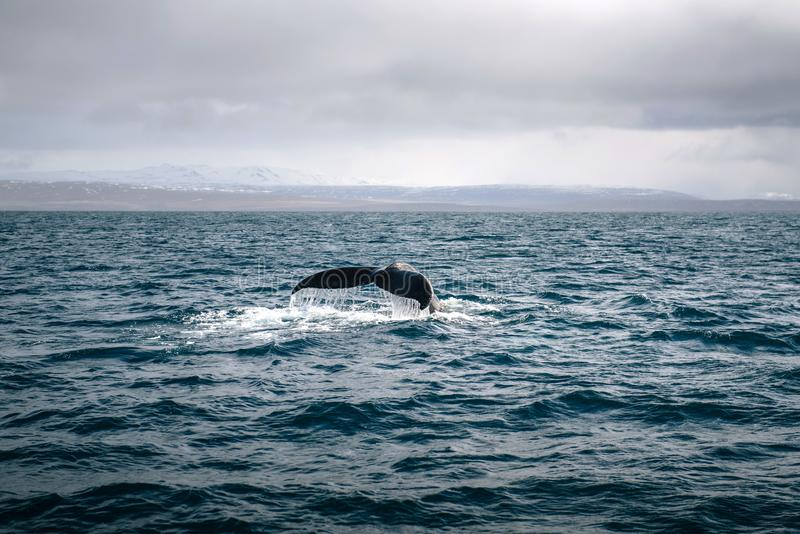Baleia de corcunda no oceano islândia fotografia de stock royalty free