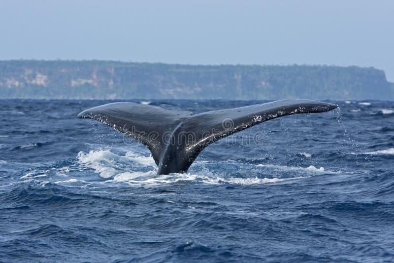 baleia de corcunda, novaeangliae do megaptera, Tonga, ilha do ` u de Vava fotos de stock royalty free