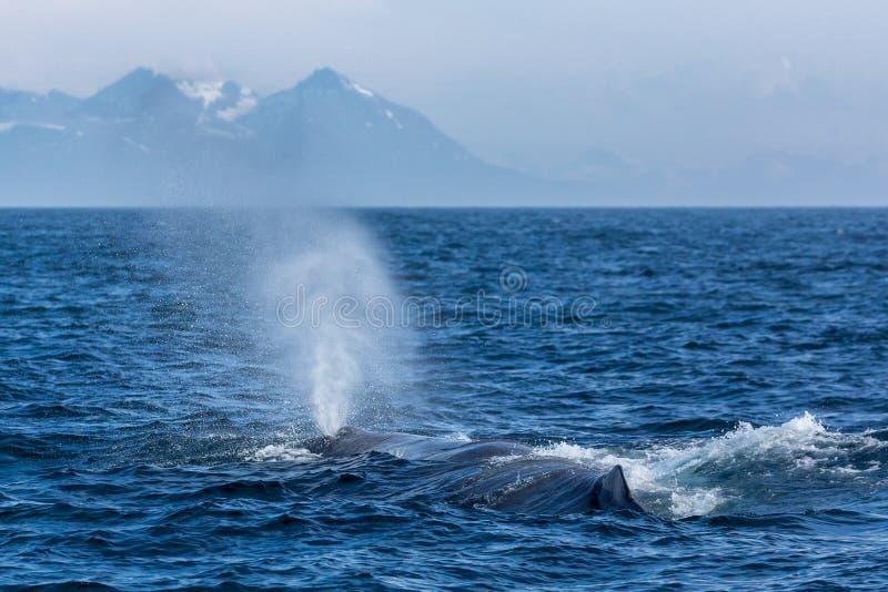 A baleia de esperma com a fonte no oceano imagens de stock