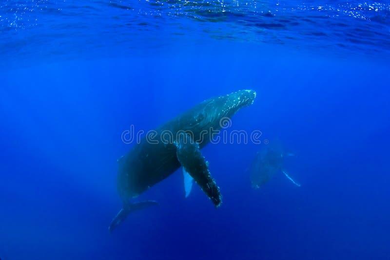 Baleia de Humpback fotos de stock