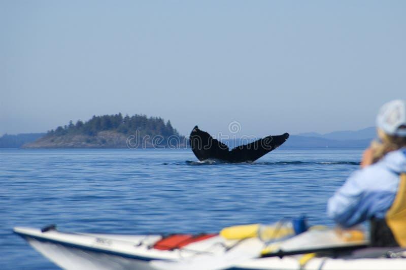 Baleia de Humpback e caiaque imagens de stock